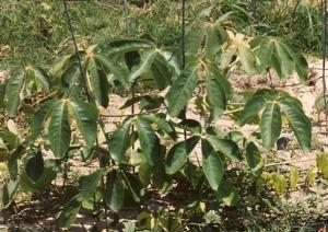 Mongongo_seedling