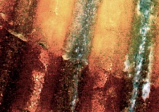 cropped scallop horizontal